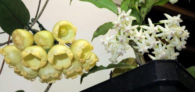 Hoya lockii Meets Hoya inflata 020516a