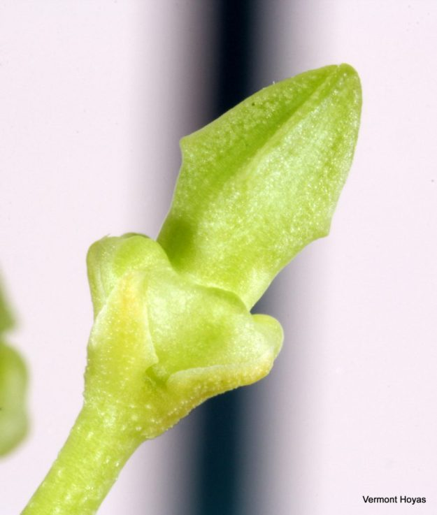 Hoya papaschonii 021216a