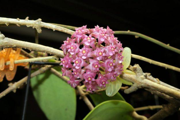 Hoya sp. Sarawak GPS 10073 052116