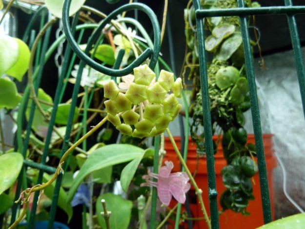 Hoya neocaledonica 052216