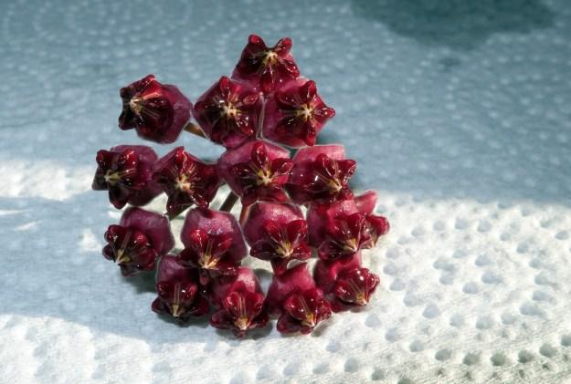 Hoya lucardenasiana 060616