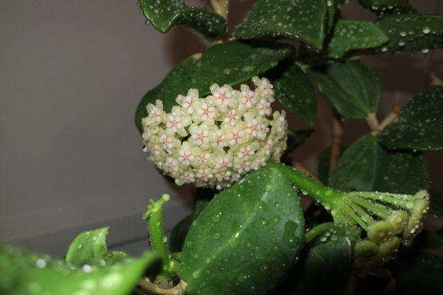 Hoya pachyclada 060416b