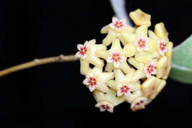 Hoya neocaledonica 061916a