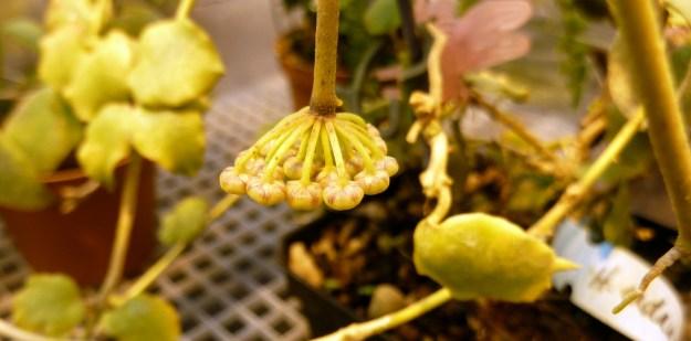 Hoya endauensis 071416a