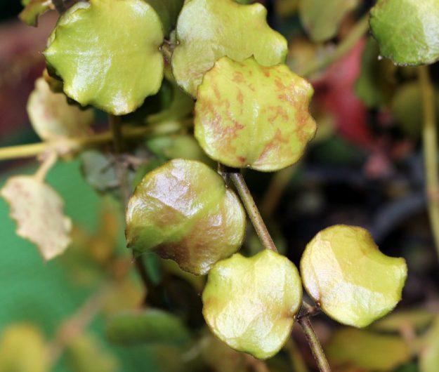 Hoya endauensis 072716a