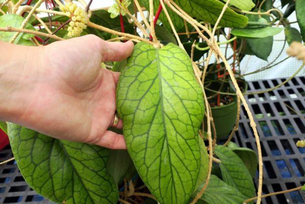 Hoya vitellinoides 080516a