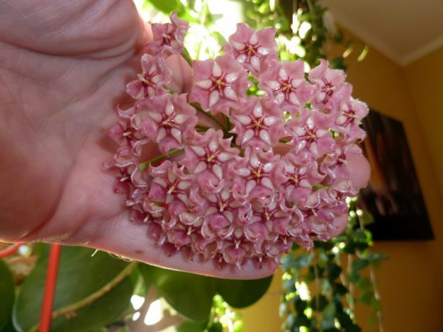 Hoya pubicalyx 'Pink Dragon'  081916
