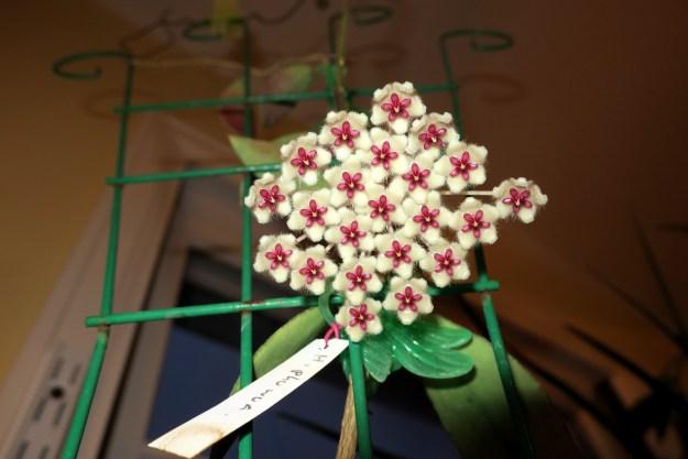 Hoya sp. Phu Wua 101616