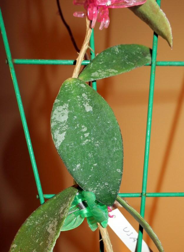 Hoya sp. Phu Wua 101716a