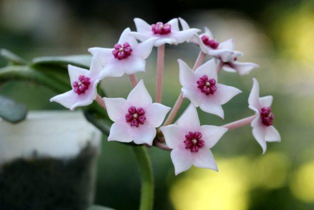 Hoya lithophytica 092216