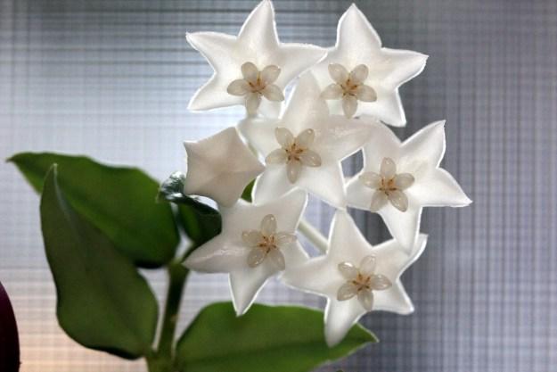Hoya lanceolata bella 'White' 100516a