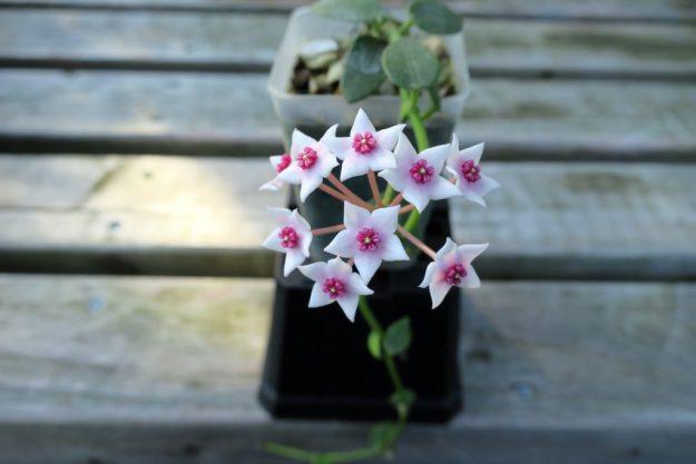 Hoya lithophytica 092416