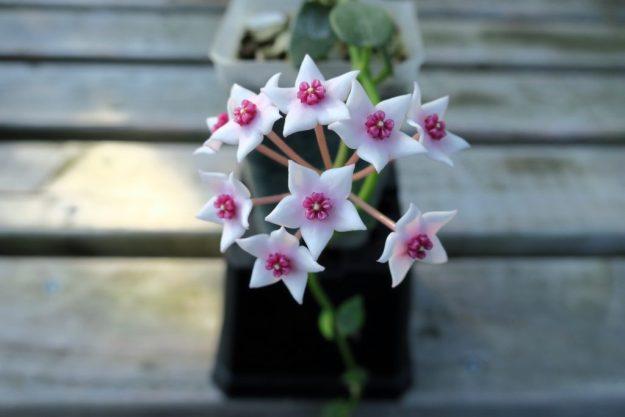 Hoya lithophytica 092516b