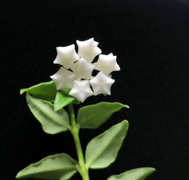 Hoya lanceolata bella 'White' 092916