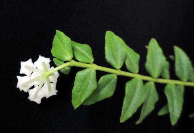 Hoya bella 'White' 092816