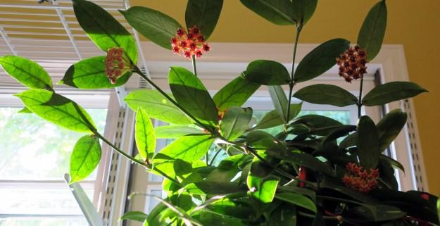 Hoya lobbii 100416b