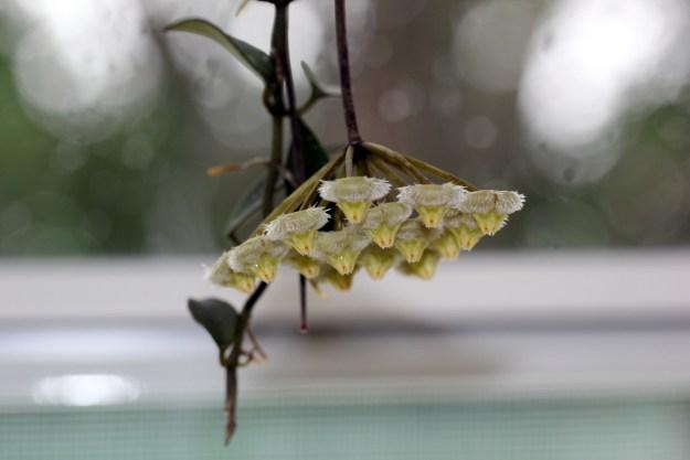Hoya mirabilis Clone A 111416b