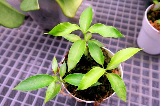 Hoya papaschonii 102916