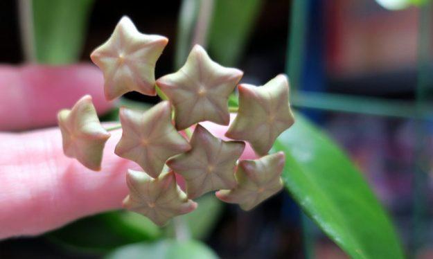 Hoya vitiensis 111716b