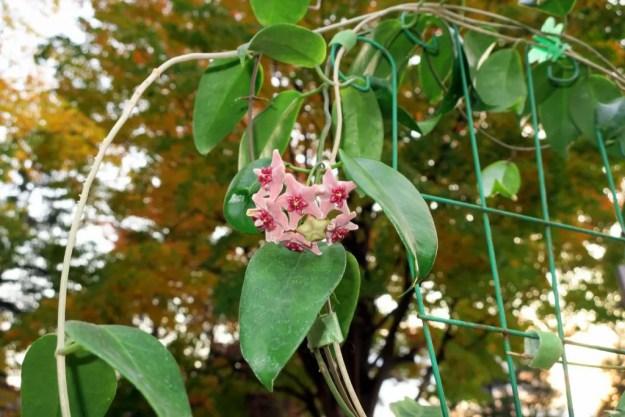 Hoya vitiensis 112116b