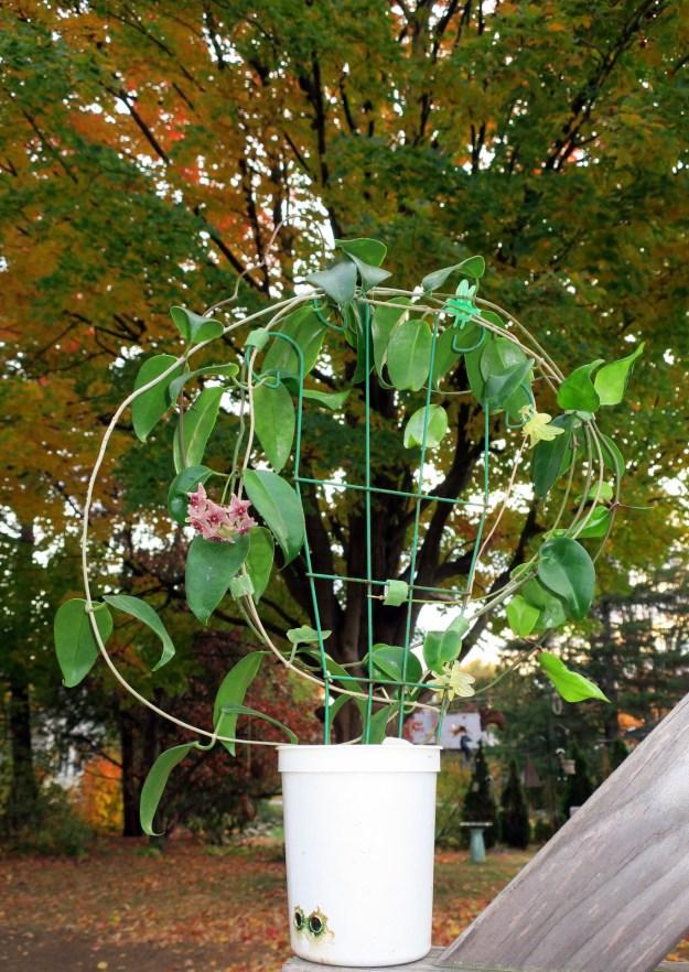 Hoya vitiensis 112316b