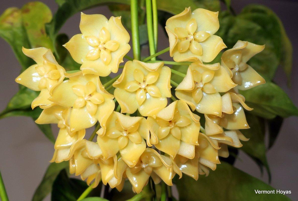planta SIN FLORES Hoya ilagiorum yellow----------