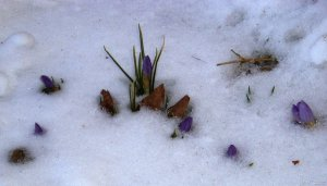 crocus-through-snow-3-9-05