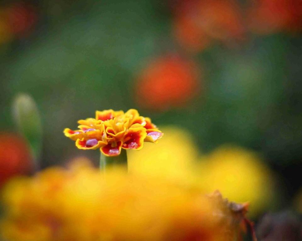 Depth of Field Flower