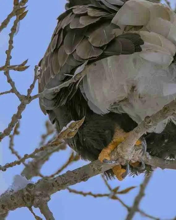 A Bald Eagle's talon gripping a tree branch