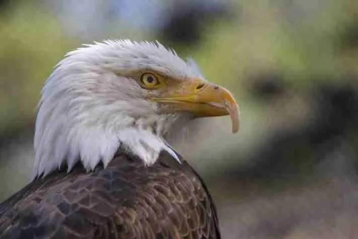 Profile shot of Bruce the Bald Eagle