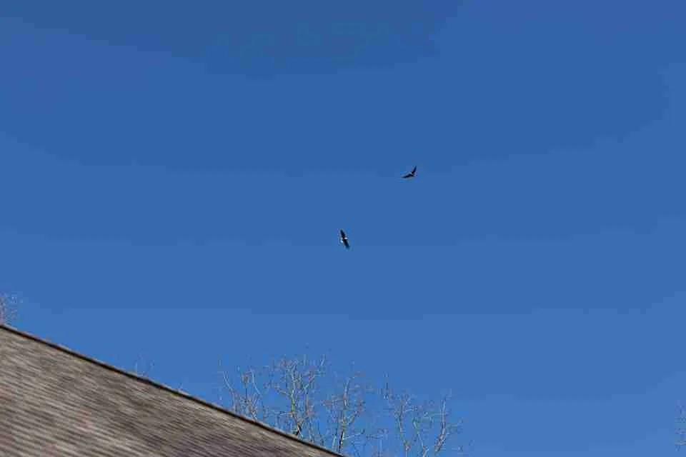 2 Bald eagles flyer over a house