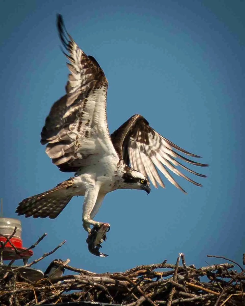 an osprey lands in his nest with food