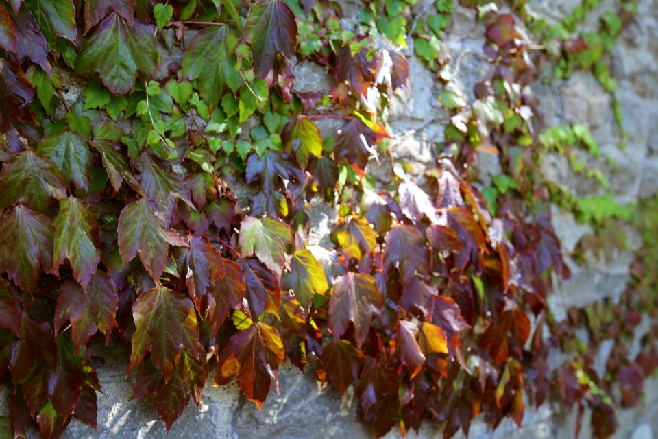 virginia creeper leaves turning
