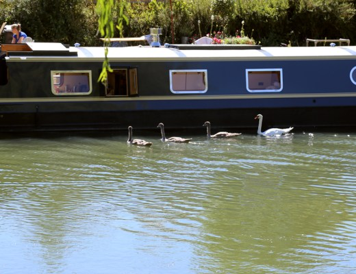 Cygnets in the Thames river Oxfordshire