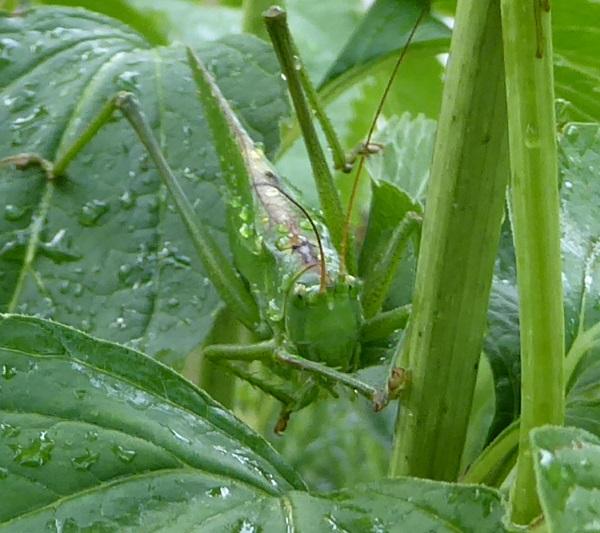 groene sabelsprinkhaan