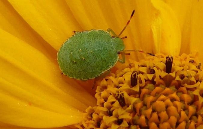 groene schildwants (Palomena prasina) nimf