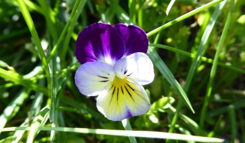 57 viooltje
