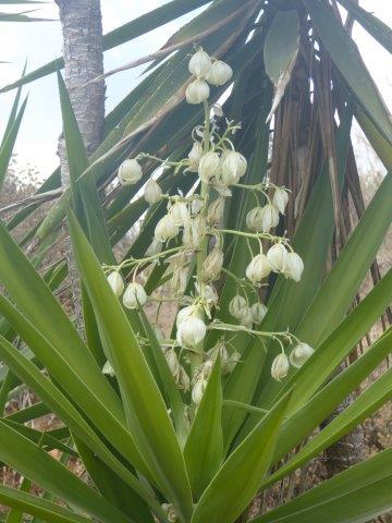 bloeiende yucca