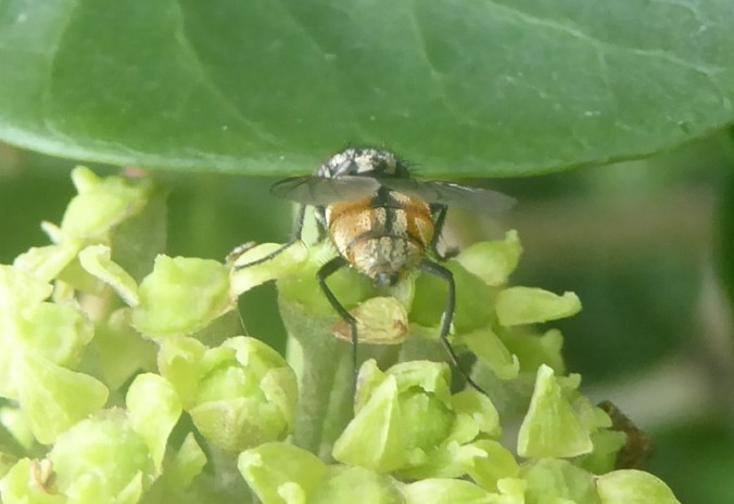 herfstvliegenbips