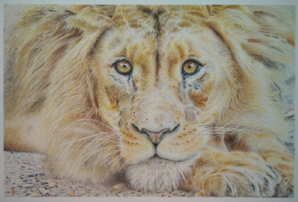 tekening leeuw drawing lion colour pencil