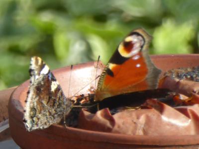 vechtende vlinders