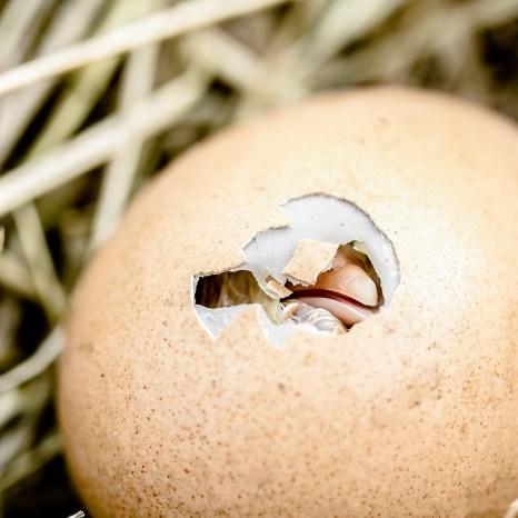 hatching-chicks-2448541_1920
