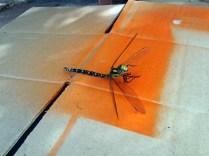 """Diese fast zehn Zentimeter große Libelle hat vermutlich Nachbars Katze erlegt, die saß plötzlich auf meiner Pappe. Kurz in der Facebook-Gruppe des Naturkundemuseums Mauritianum Altenburg nachgefragt, schon wusste ich, was genau es für eine war: """"Das ist ein Männchen der Blaugrünen Mosaikjungfer (Aeshna cyanea)."""""""