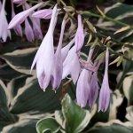 Plantain Wide Brim Hosta__20210717_193312.jpg