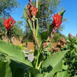 Red Canna Lily__20210905_104353.jpg
