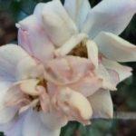Rosa-Rugosa-Alba__20210613_182757-1.jpg