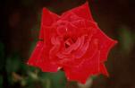 Rose__1981.png