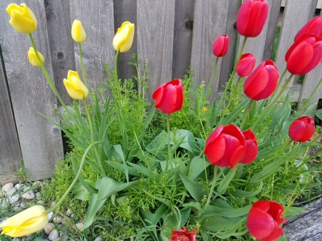 Tulips-Red & Yellow Landscape__20190510_181621.jpg