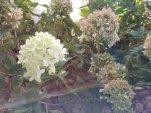 Little Limelight Hydrangeas and Strawberry Shake Hydrangeas__20210926_155730.jpg
