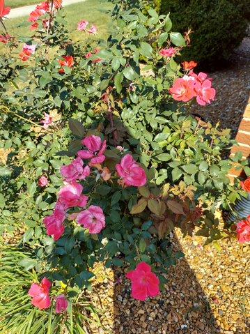 Brilliant Pink Iceberg & Rosa Dusky Maiden Floribunda Roses__20211001_110123.jpg